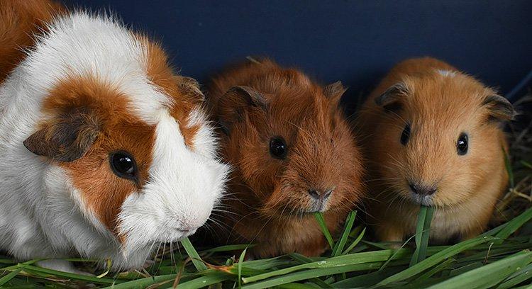 guinea_pigs_10_12.jpg