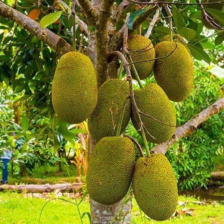 Jackfruit-450w_450x.jpg